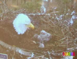 Bald Eagle LIVE